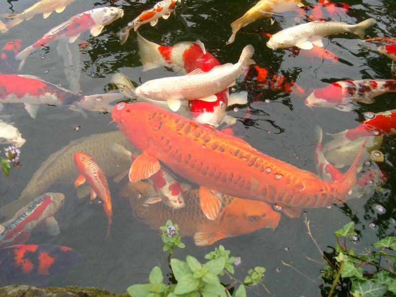 Fische koi karpfen for Koi karpfen teich
